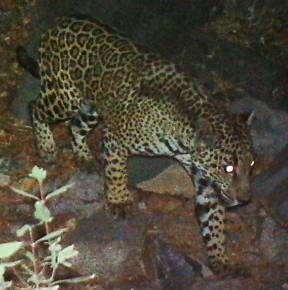 Jaguar in Southern Arizona