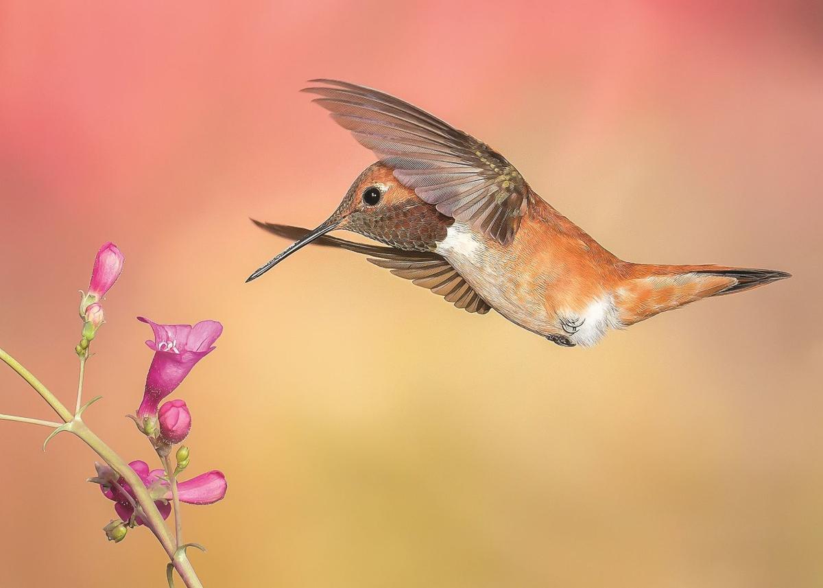 Rufous Hummingbird with Penstemon