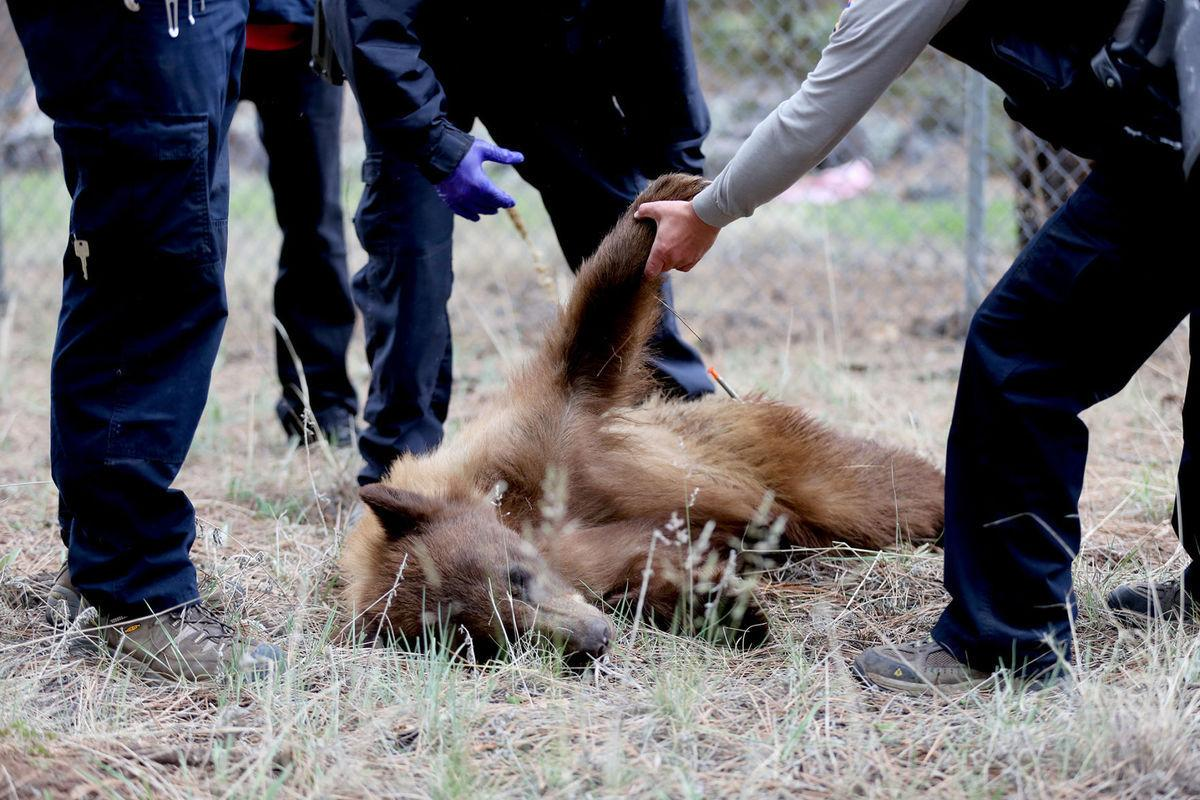 Arizona officials defend bear kill policy after Flagstaff incident