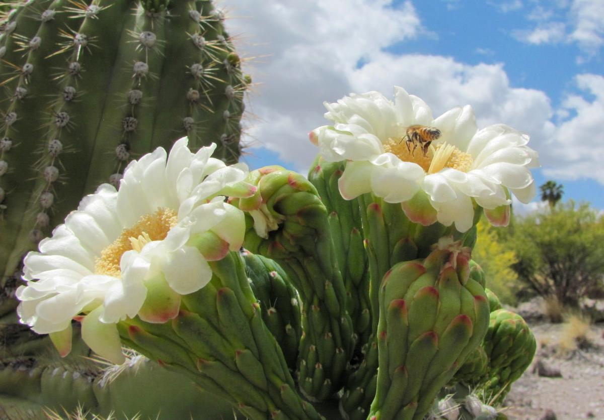10 Saguaro Flower Facts That Will Make You Love The Desert Even More
