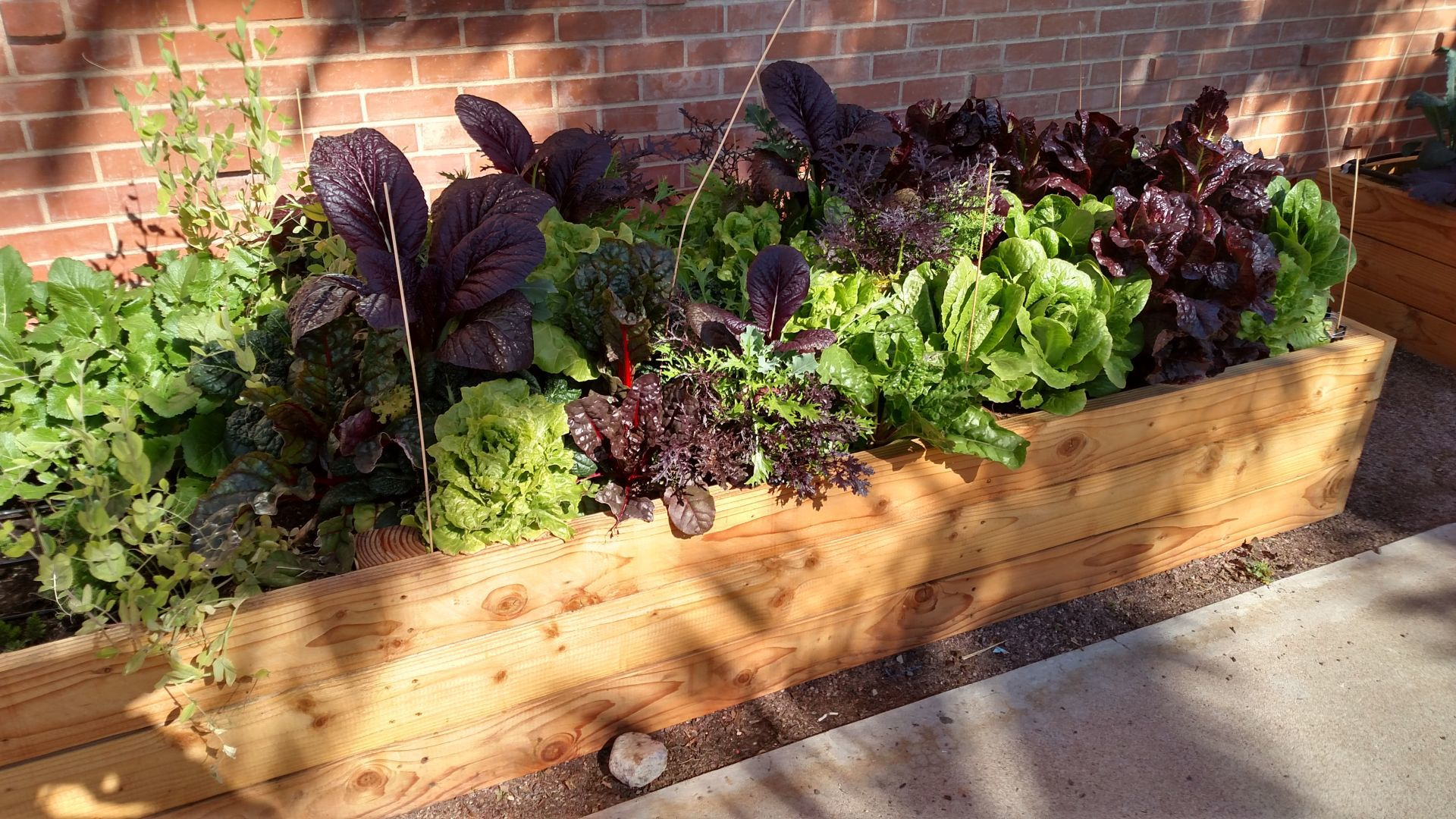 Purple Mustard Greens And Red Swiss Chard Add Color To A Winter Vegetable  Garden.