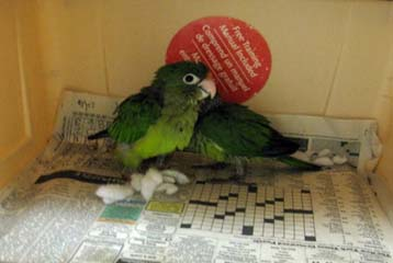 Smuggle Me Elmo: 2 parrots found in stuffed toy