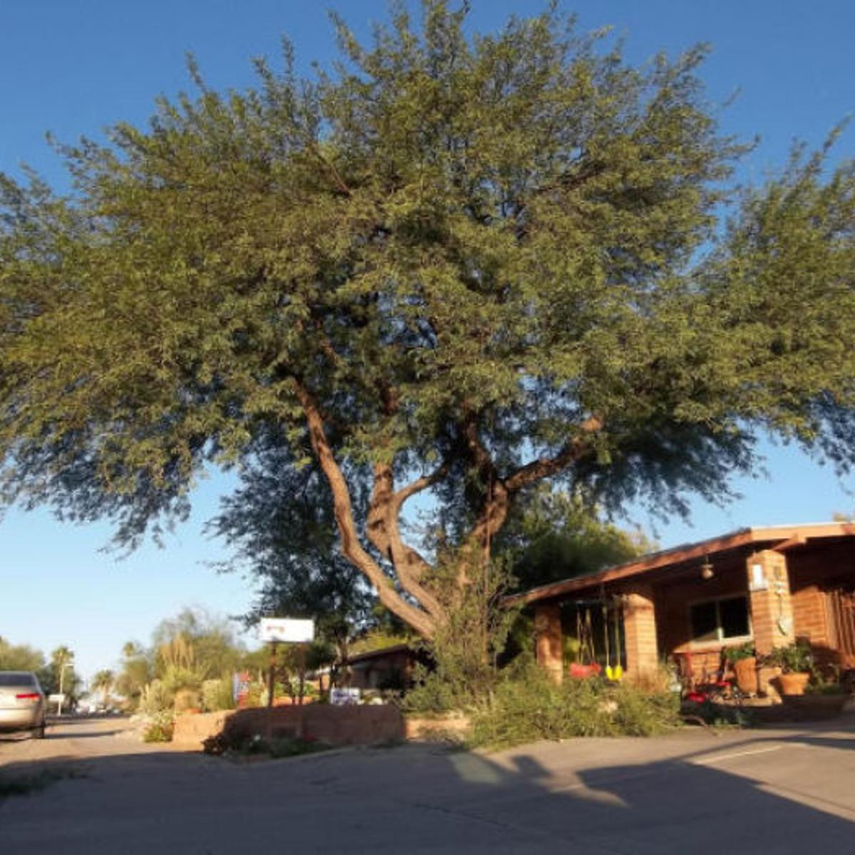 A Guide To Mesquite And Palo Verde Trees Home Garden