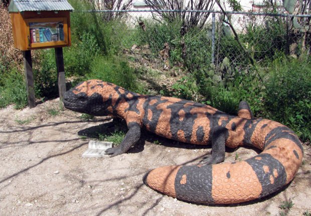 Tucson Oddity: Gila monster reading a book draws looks in Tucson neighborhood