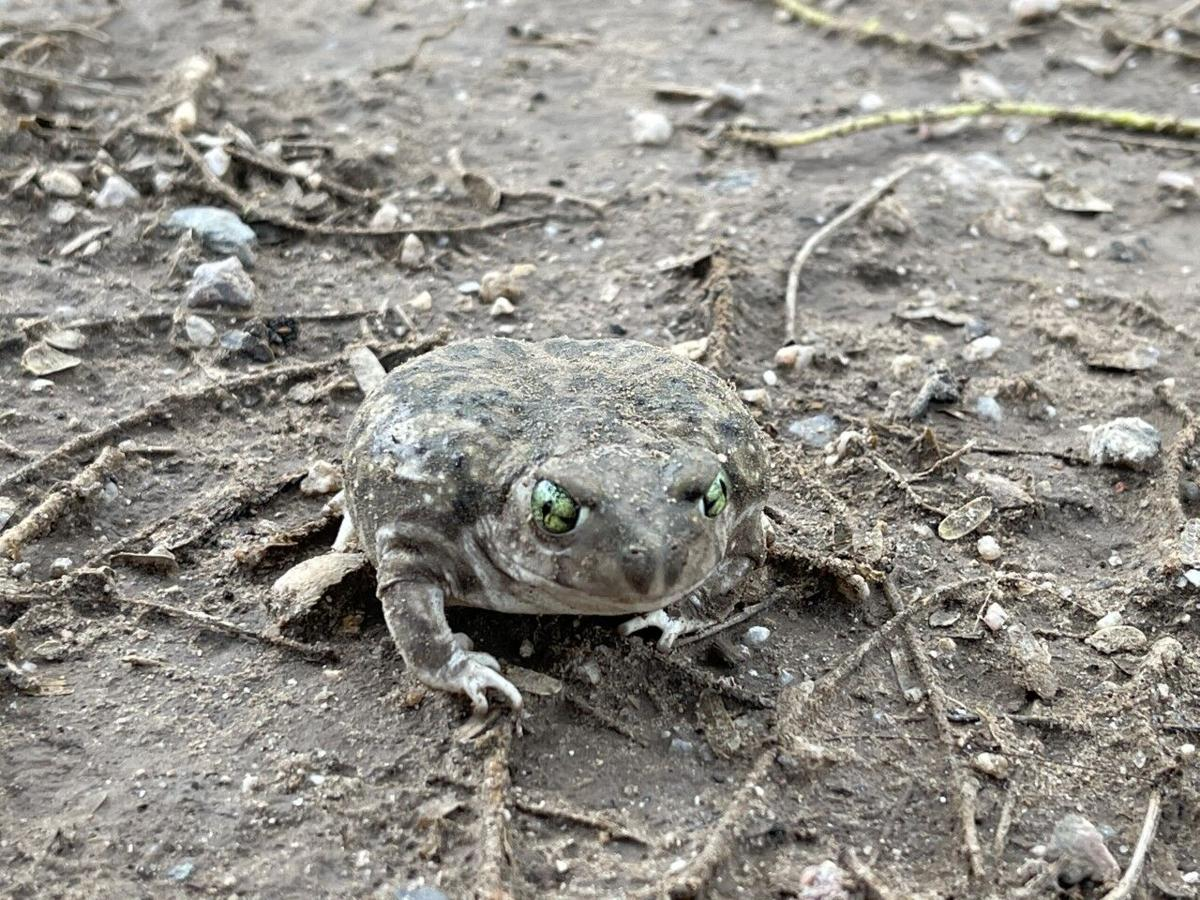 Green-eyed toad