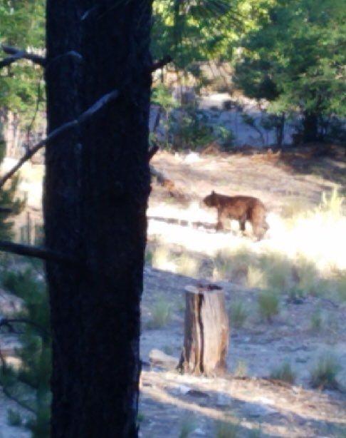 Bear sighting on Mount Lemmon