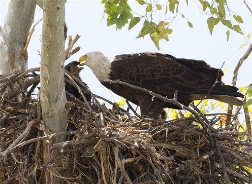 Bald eagles' nest in Scottsdale