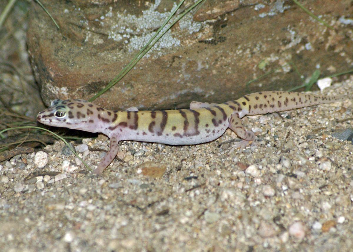 Banded-Gecko-8-.JPG