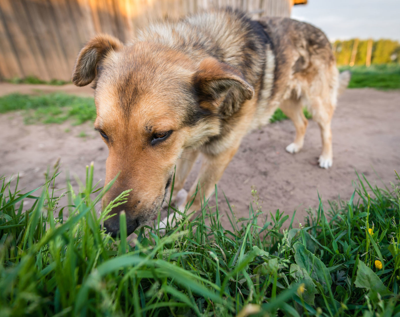 My Pet World: Why do dogs eat grass and