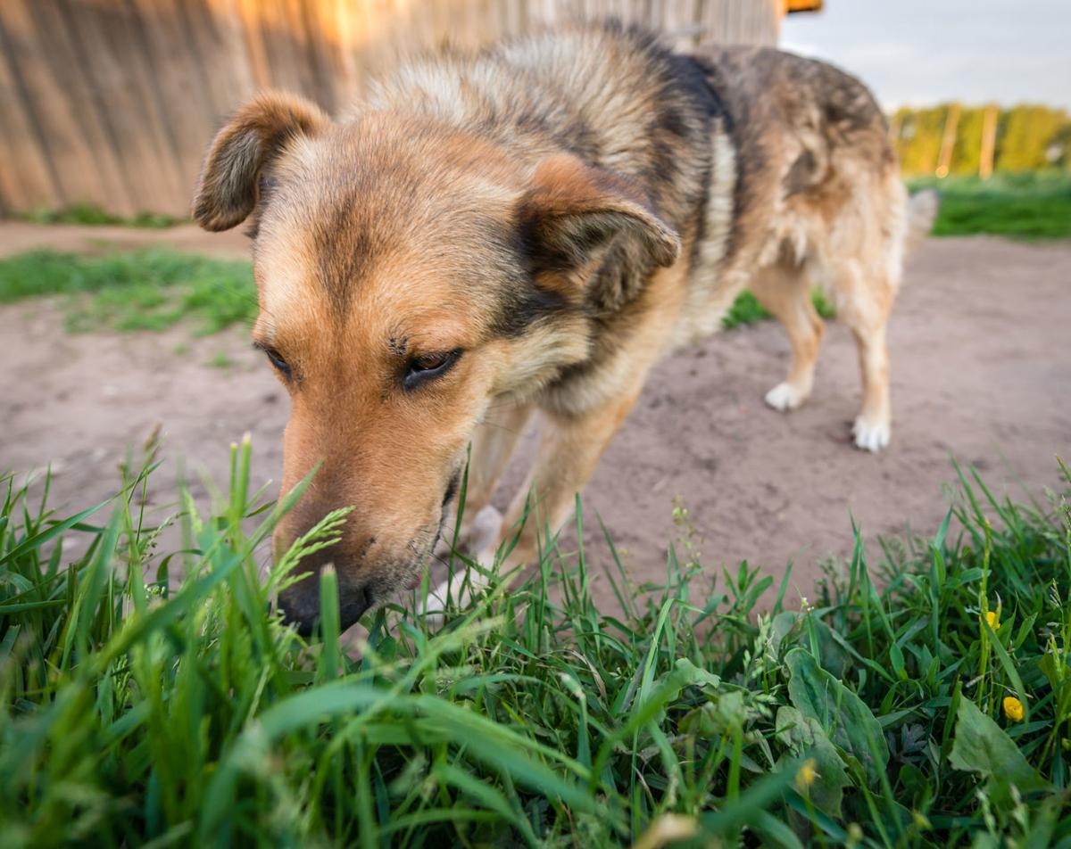 My Pet World: Why do dogs eat grass and vomit? | Pets ...