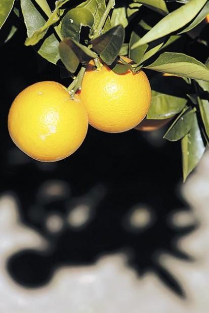 Fertilize Your Citrus Trees
