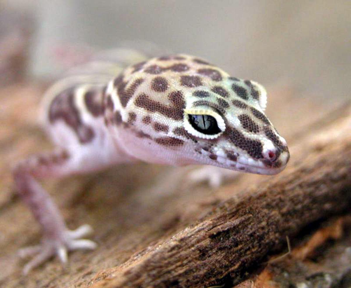 banded-gecko-1.jpg