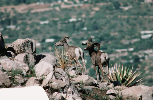 Bighorns to get 2nd chance in Catalinas