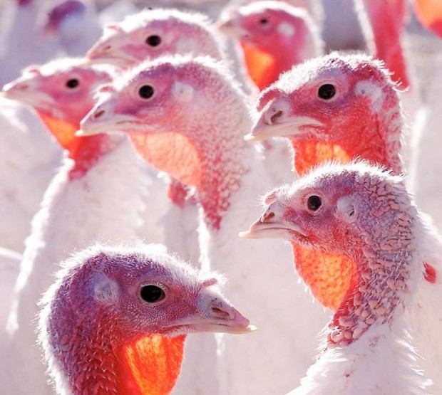 Fresh, locally grown turkeys are available, but order now
