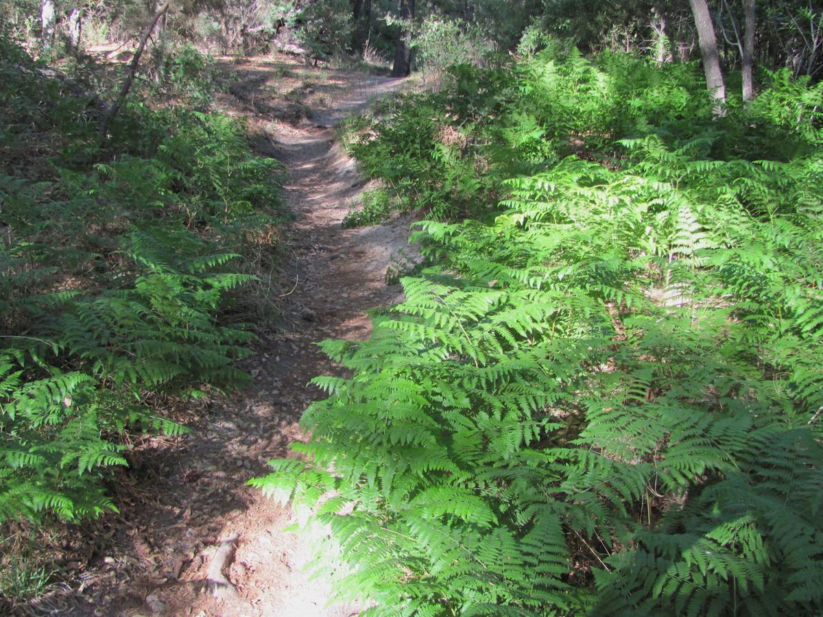 Ferns along a trail