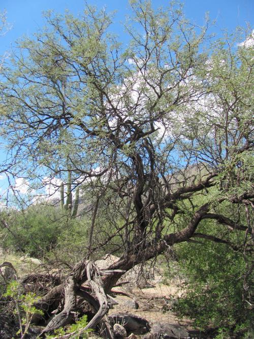 Gnarled mesquite