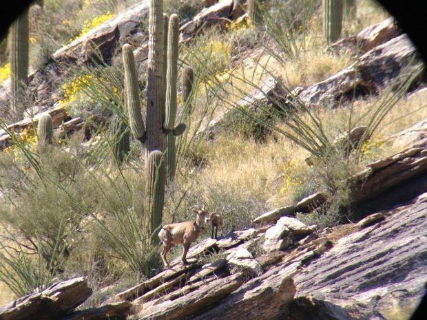 Bighorn lamb observed in Catalina Mountains