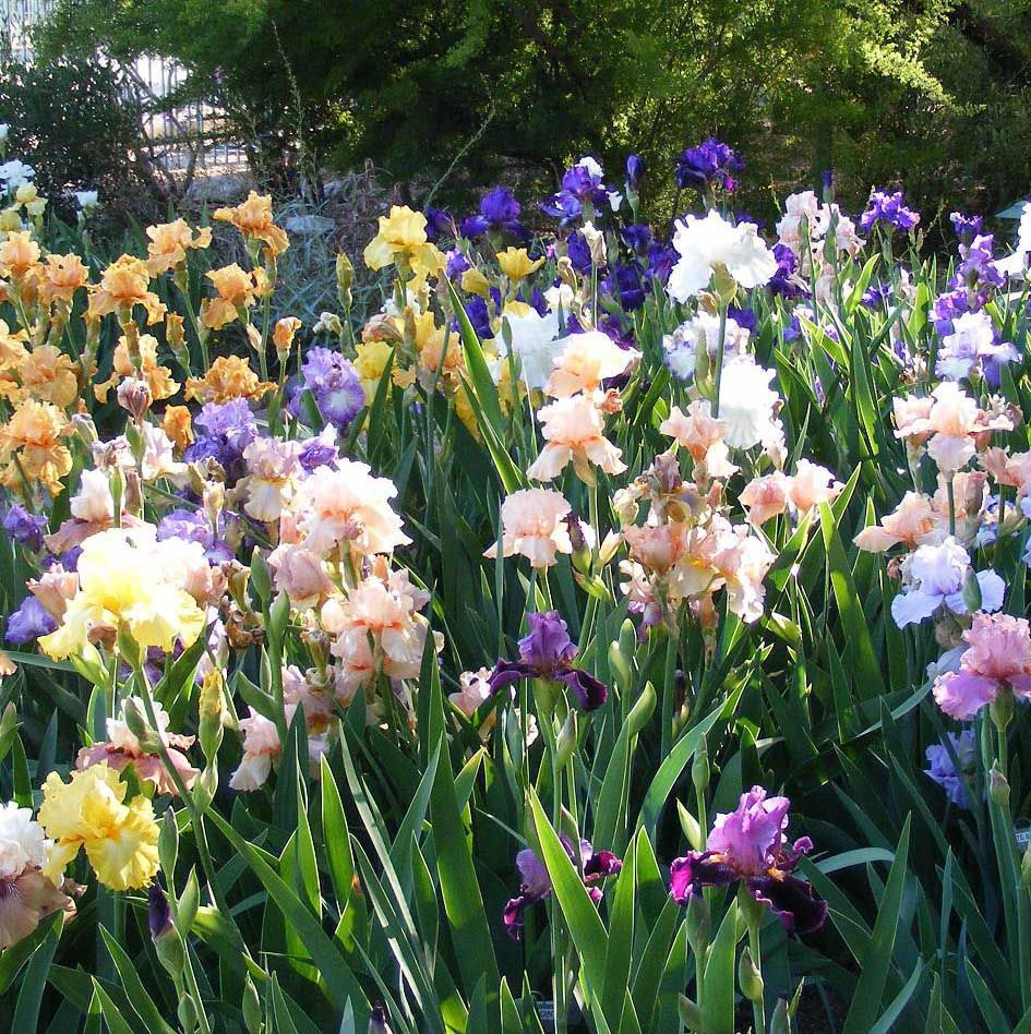 Irises Do Grow in Tucson