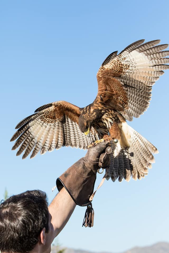 Falconer with hawk