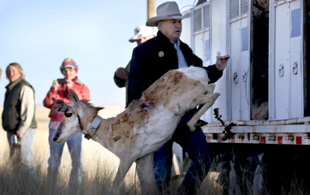 Pronghorn release