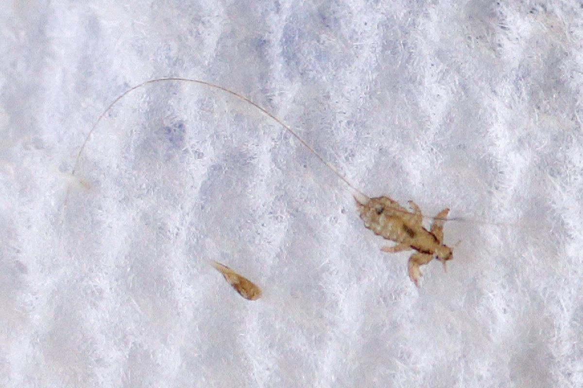 Head lice removal