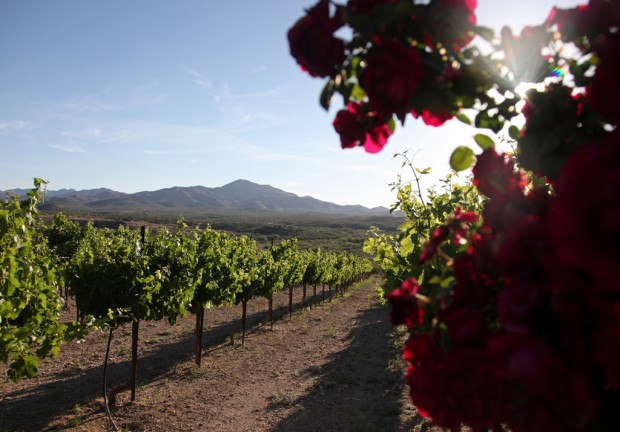 Volunteers Can Help With The Harvest At Charron Vineyards Tucson