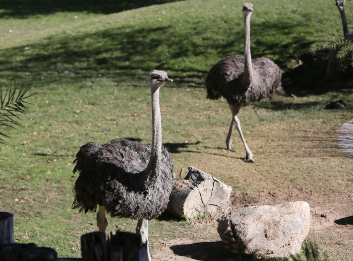 Nandi's Neighbors: Ostriches Lucy and Ethel mimic the comic pair