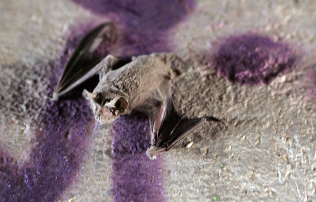 BB gun killed 80 bats found under east-side bridge, G&F concludes