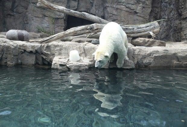 Zoo's polar bear died of heart ailment