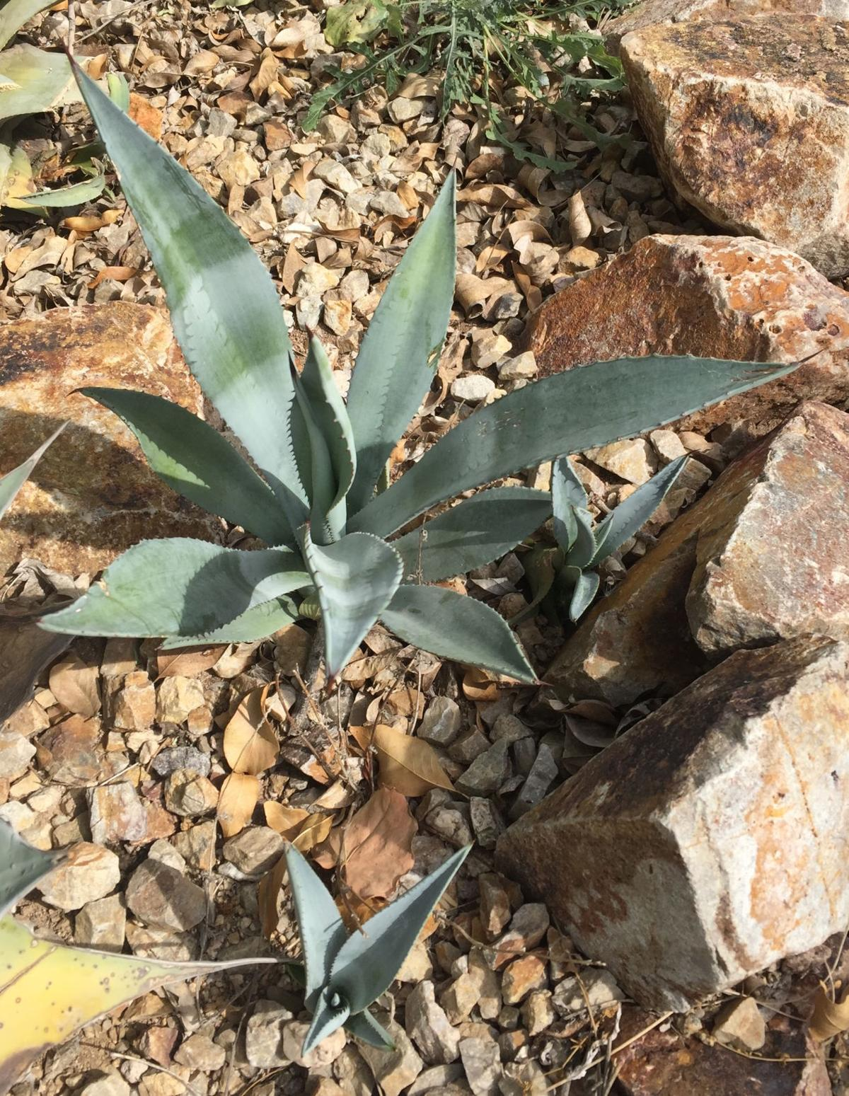Garden Sage: An agave with pups
