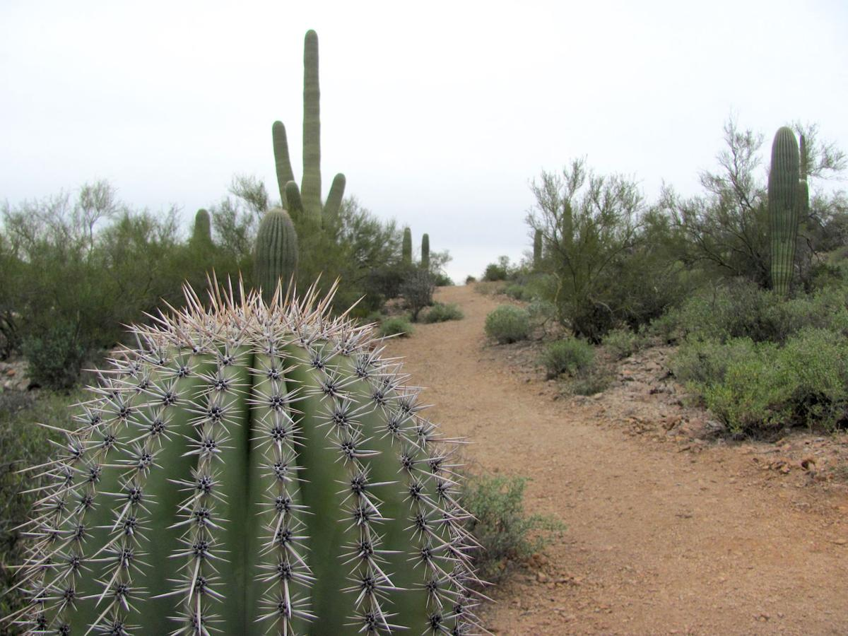 Saguaros along trail