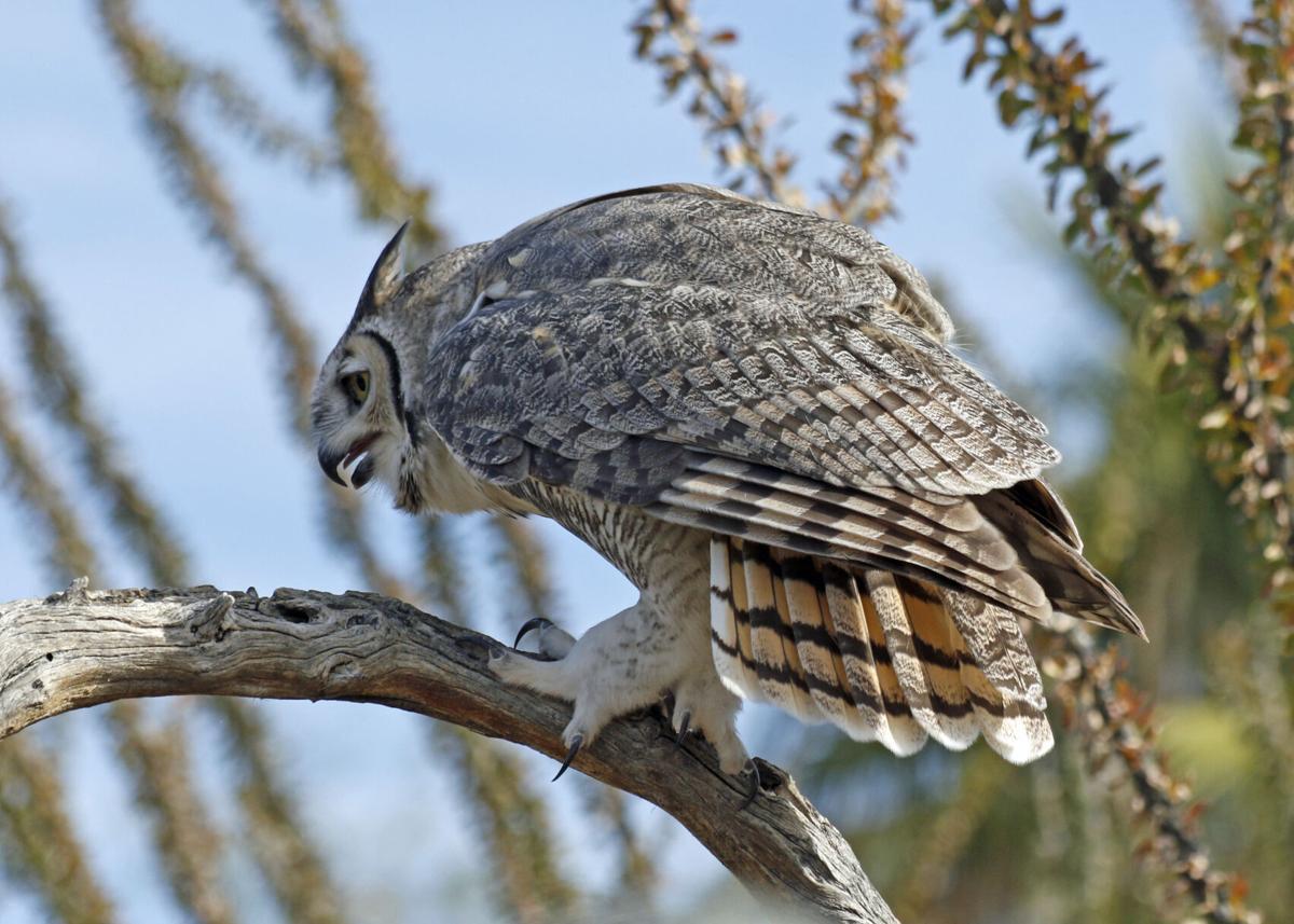 great-horned-owl-Bubo-virginianus-3-.JPG