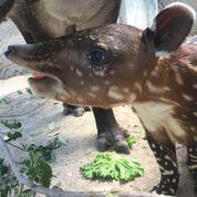 tapir1