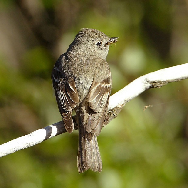 1,227 miles of streams in Southwest tapped as prime flycatcher habitat