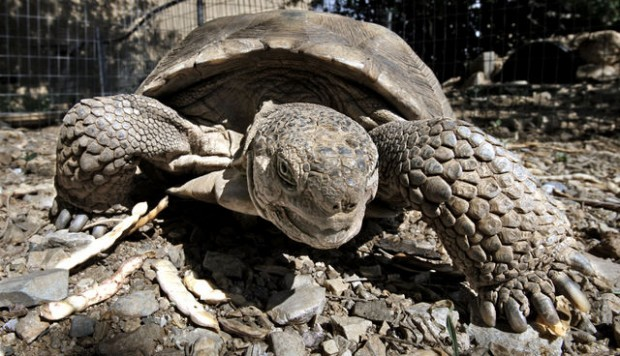 Feds to consider protections for Sonoran desert tortoise