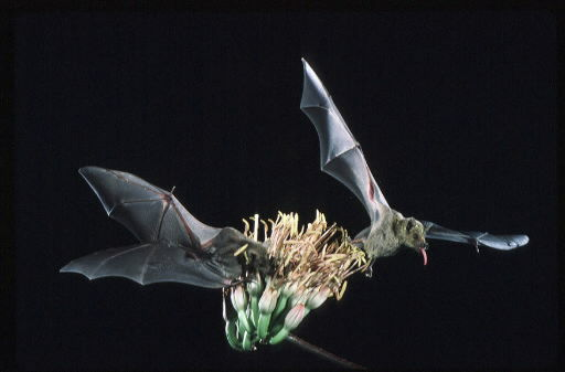 Lesser long-nosed bats