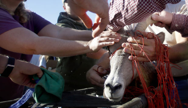 Bighorn sheep capture