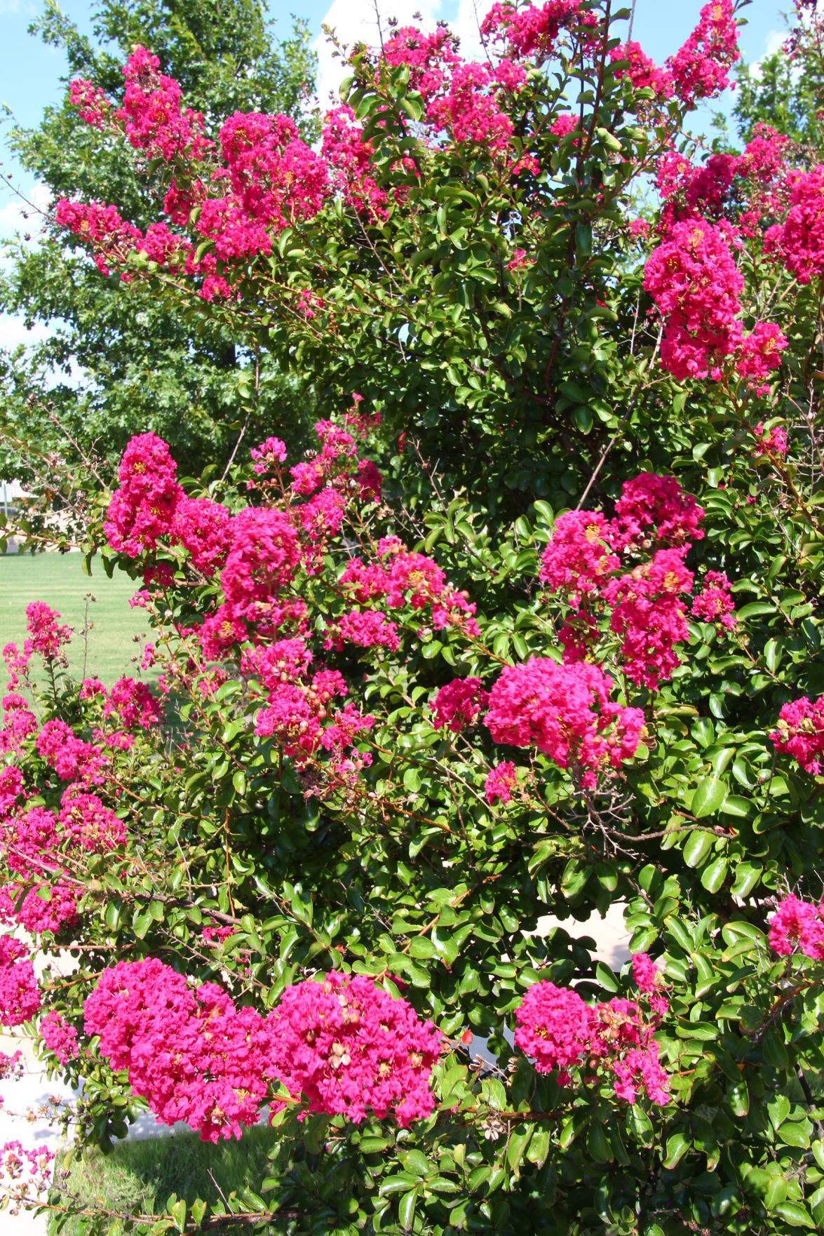 Caressing your crepe myrtle