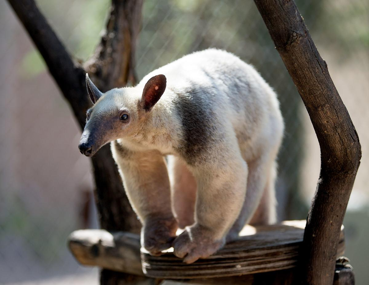 Lesser anteater
