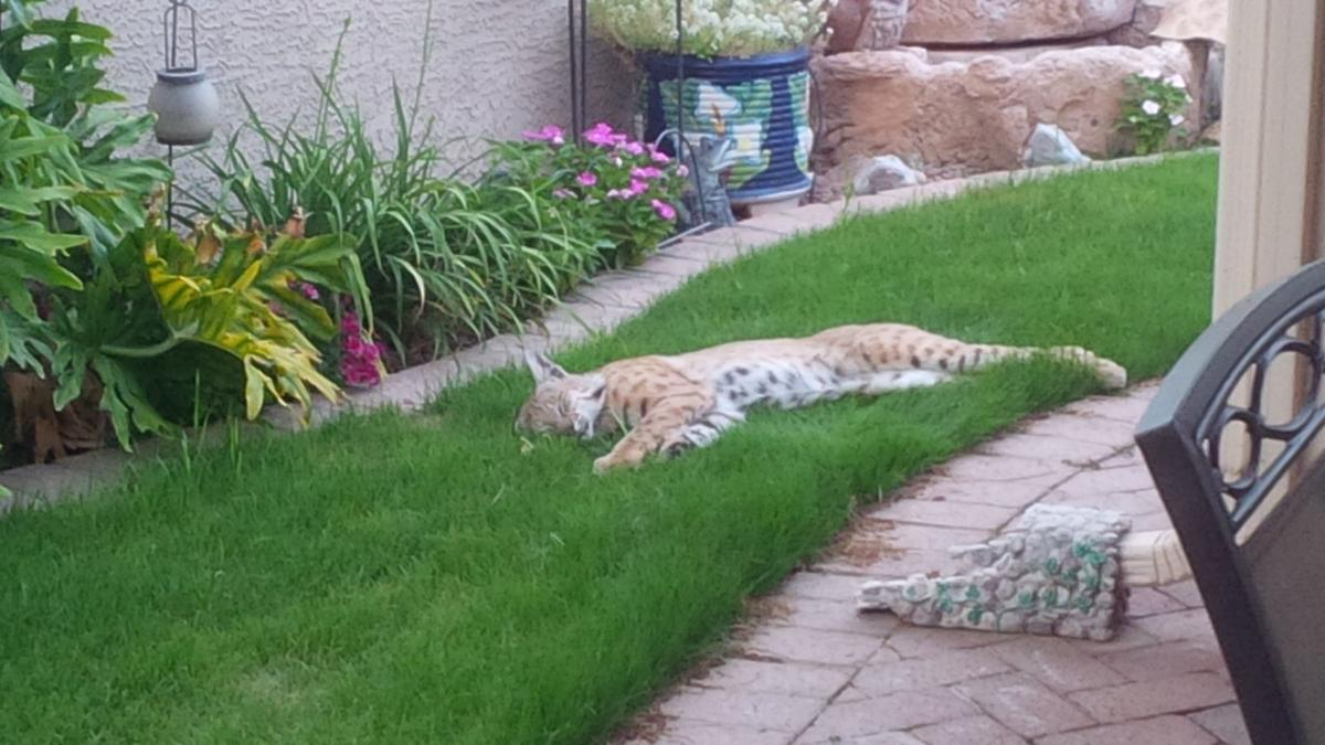 reader photos of southern arizona u0027s backyard bobcats contributed