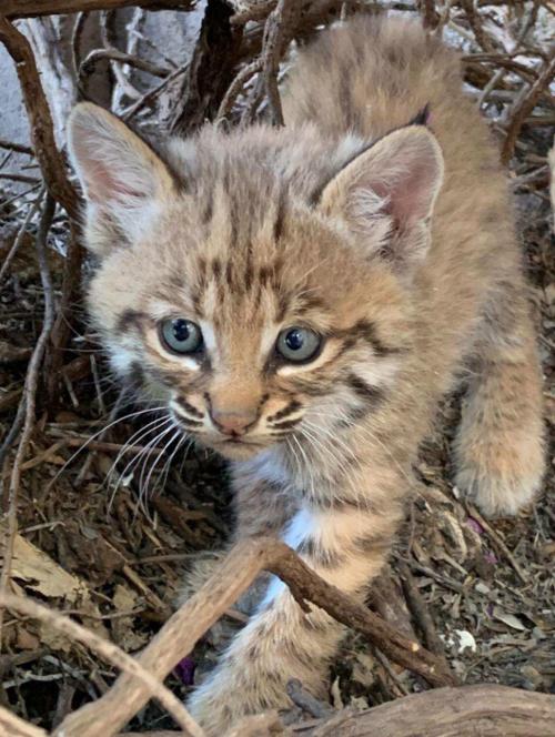 Baby Bobcatt