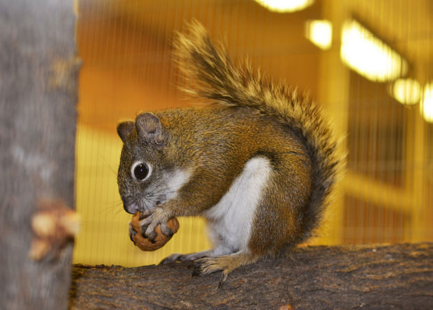 Red squirrels endangered, but breeding program could come to the rescue