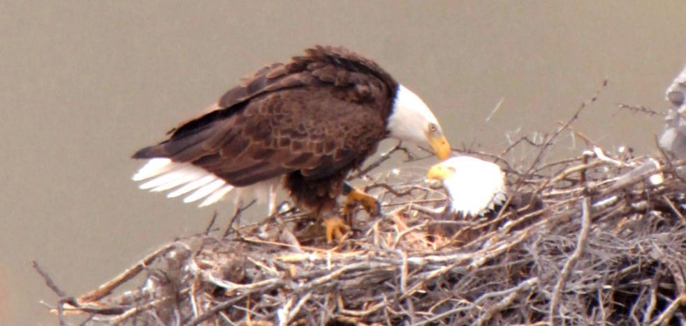 Bald eagles in Arizona