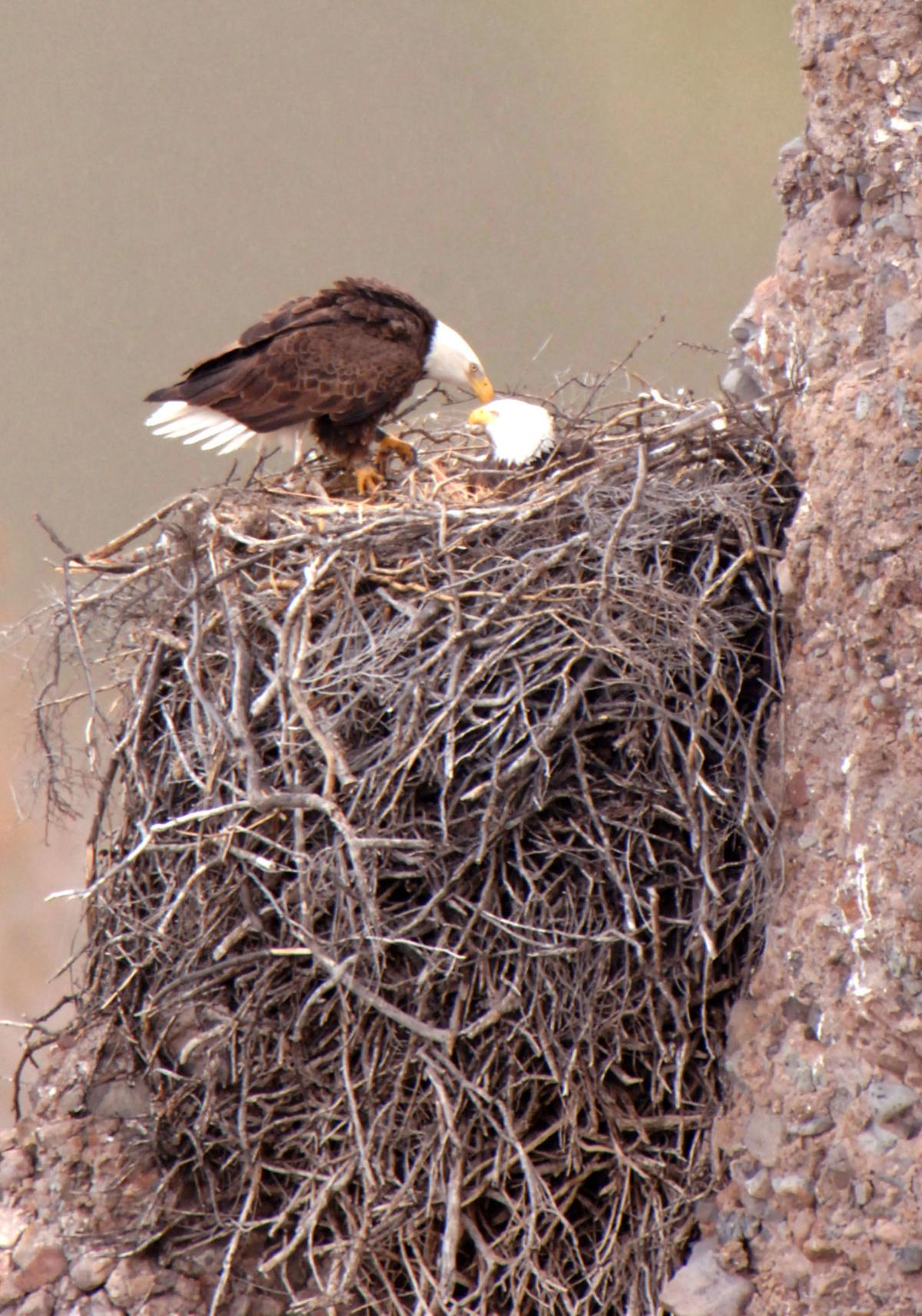 Bald eagles in Arizona