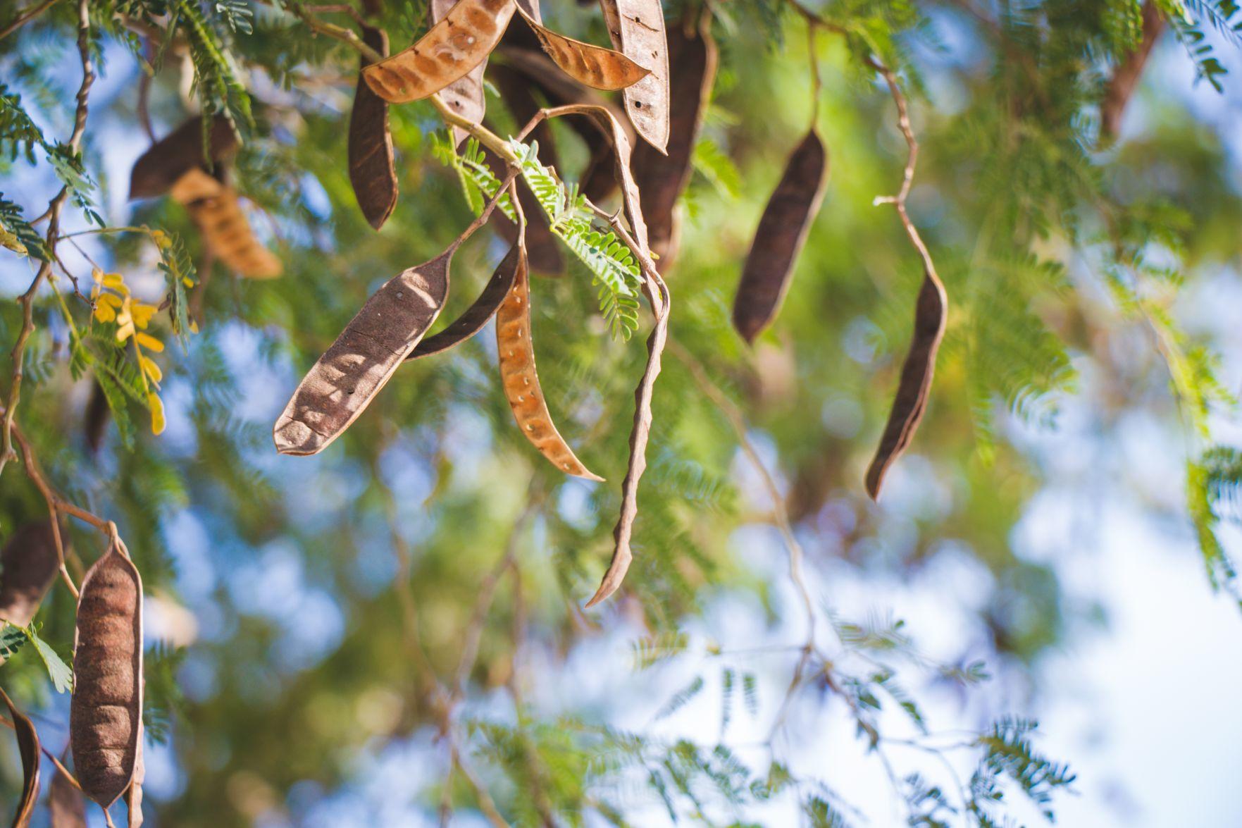 Texas ebony tree arizona