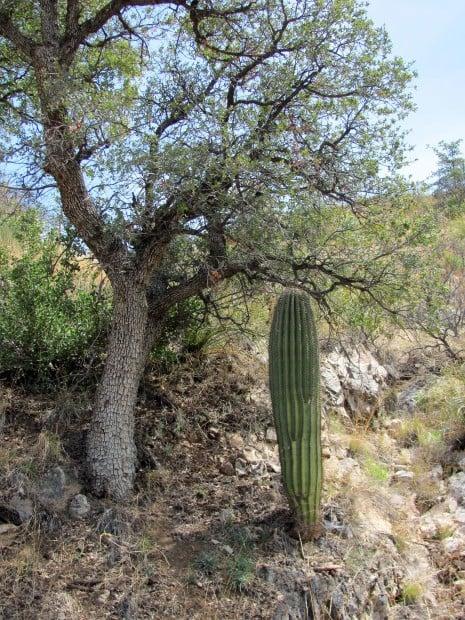 Saguaros, emblems of the desert, now claim higher ground