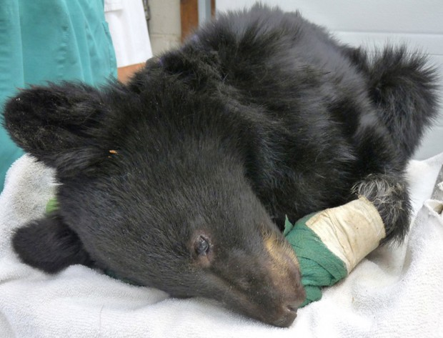Cub with paws burned in Montana wildfire could be freed in June