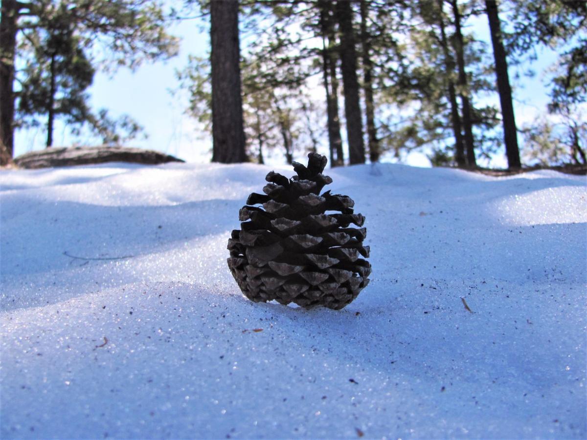 Pine cone on snow
