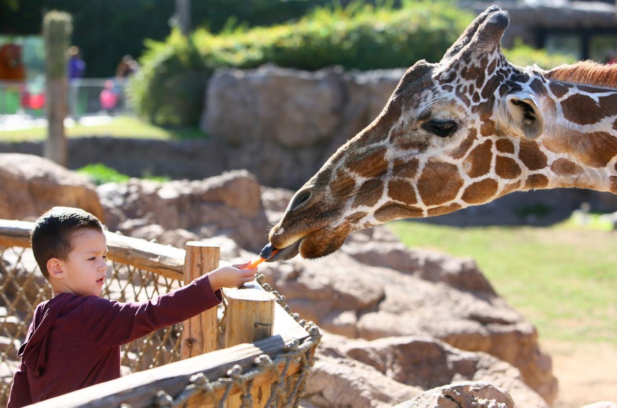 Denver the giraffe