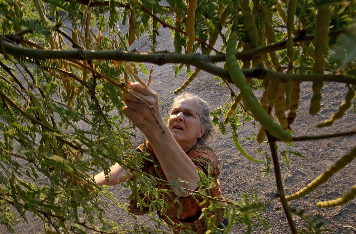 Harvesting mesquite bean pods